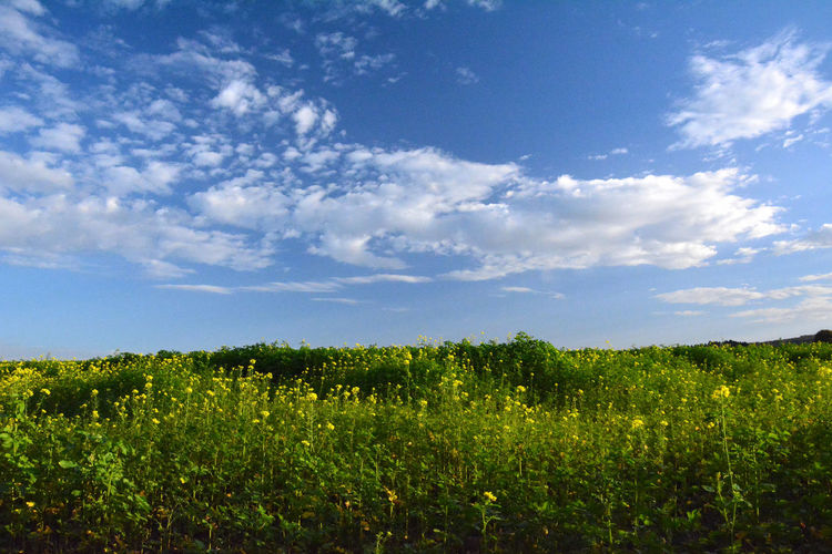 Field Land Growth Sky Plant Beauty In Nature Landscape Cloud - Sky Tranquility Environment Tranquil Scene Scenics - Nature Rural Scene Agriculture Nature No People Green Color Day Flower Flowering Plant Outdoors Plantation Winemaking