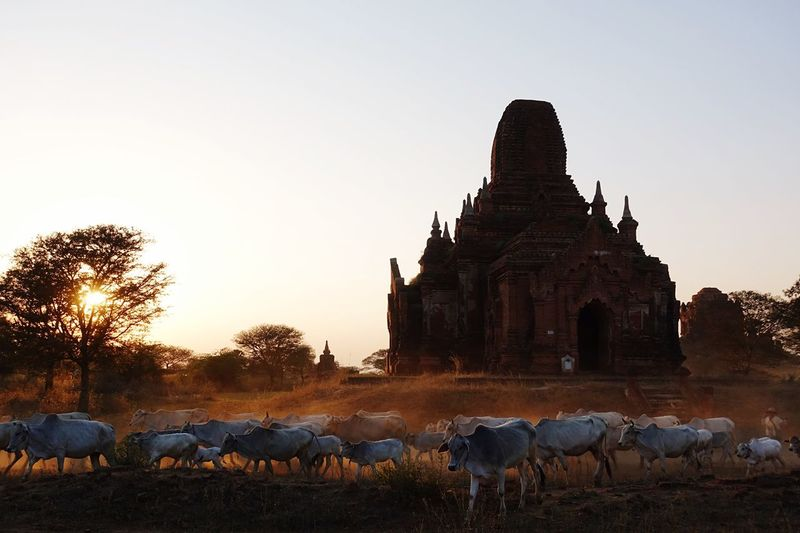 Cow herd passing by a buddhist temple by sunset in bagan , myanmar