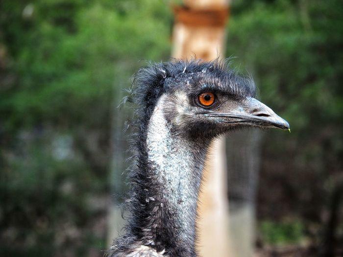 The head of an emu