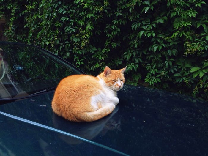 Cat resting on car hood against plants