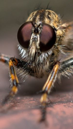 Bug Wildlife Nature Outdoors Garden Focusstacking Macrophotography Closeup Focus Stacking Eyes Eye Robberfly Looking At Camera Microbiology Portrait Insect Macro Animal Eye Close-up