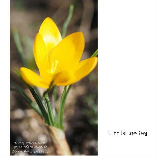 時期を逃して 遅く植えてしまった クロッカス ひとつだけ花が咲きました❤ 他にも芽は出てるから 咲いてくれるといいけどなぁ(*´ω`*) * 今日も1日お疲れ様でした♪ * 庭の花 クロッカス Flower Garden Olympus om_d e_m1 my_pic olympus倶楽部
