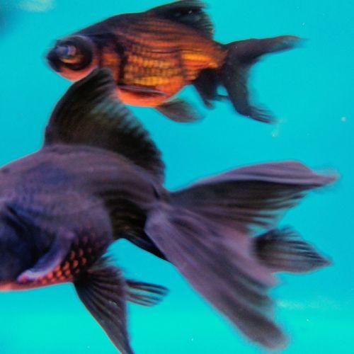 Fish Fun Fish Goldfish Fantasy Fish Dream Fish EyeEm Nature Lover Aquarium Water