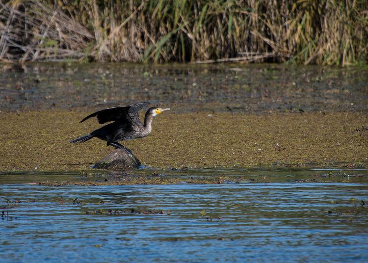 Great cormoran