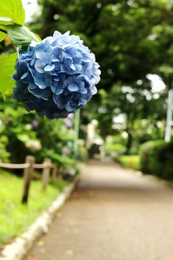Hydrangea Flowerlovers Flower Collection Flowers, Nature And Beauty Hydrangea Flower 紫陽花-hydrangea- Eyeemhydrangea