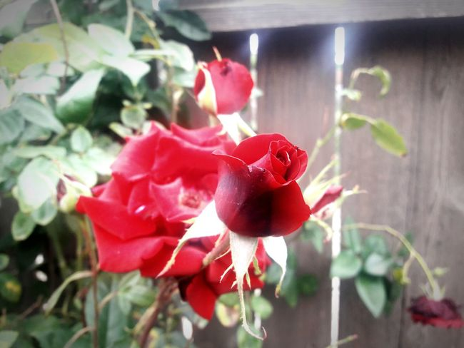 Red Plant Flower No People Leaf Close-up Nature Indoors  Growth Day Food Fragility Freshness Beauty In Nature Flower Head Greenhouse