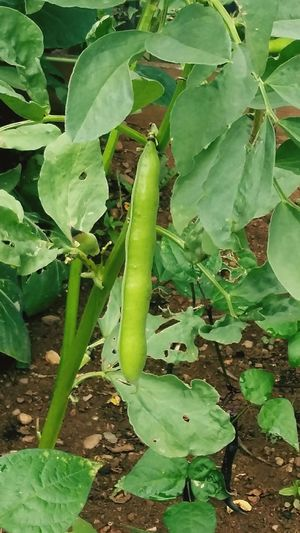 A Bean Growing on a BeanPlant . Stunning Green Color Leaves🌿 . Featuring Growth Leaf Nature Plant No People Day Outdoors Freshness Close-up Beauty In Nature
