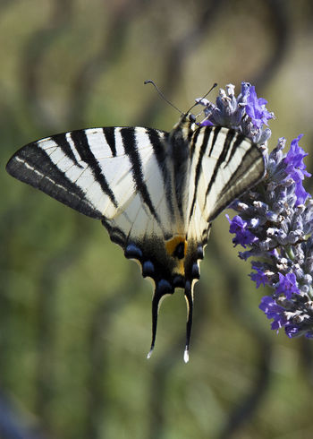 Animal Markings Animal Themes Animal Wildlife Animals In The Wild Beauty In Nature Butterfly - Insect Close-up Day Flower Focus On Foreground Fragility Freshness Full Length Insect Lavender Flowers Macaone Nature No People One Animal Outdoors Plant Pollination EyeEmNewHere