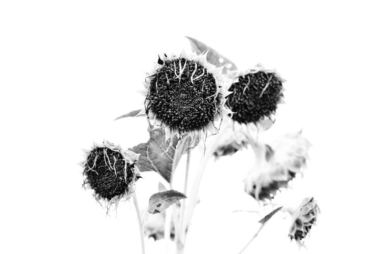 looked like the sunflower of Van Gogh :) Flower Nature Plant Sunflowers White Background