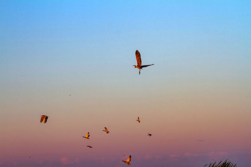 Danube Delta Danube Sulina Animal Themes Animals In The Wild Beauty In Nature Bird Bird Reserve Clear Sky Day Flying Low Angle View Mid-air Nature No People Outdoors Sky Sunset