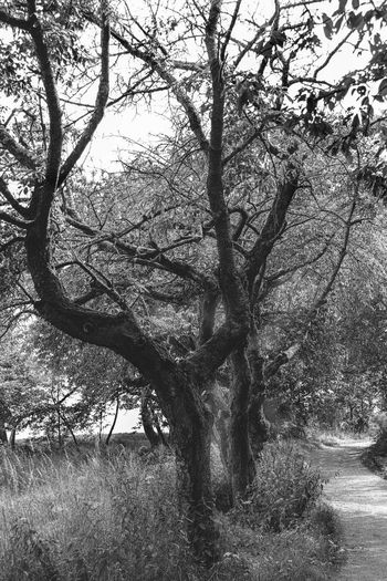 Tree Plant Tranquility Tree Trunk Nature Branch Trunk Land Beauty In Nature No People Day Landscape Environment Growth Field Outdoors Grass Forest Tranquil Scene Scenics - Nature Black And White Alte Bäume