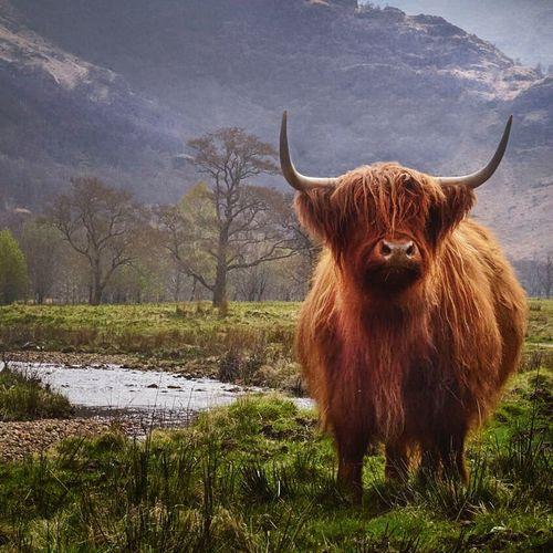 Highland Cattle Horned Agriculture Livestock One Animal Cattle Animal Hair Brown Grass Mammal Cow Nature No People Landscape Outdoors Wind Instrument Animal Themes Day