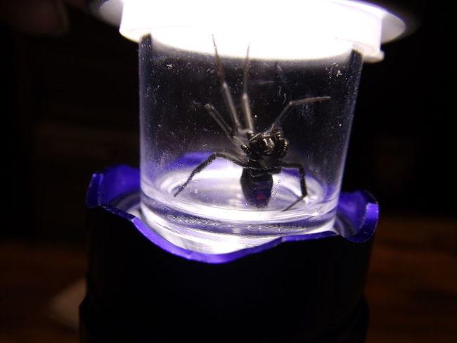 Black Widow Dangerous Spider Micro Photography Pionkfire Artist Poisonous Spider Spider Spider Eyes Venomous