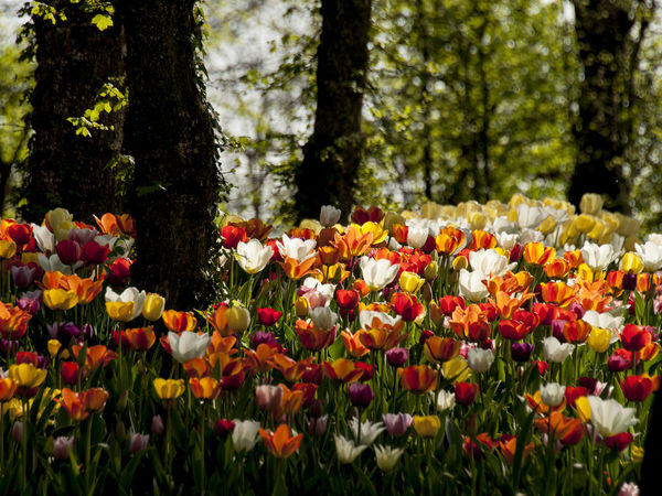 Botany Colorfull EyeEm Nature Lover Flower Flower Collection Flowers Flowers,Plants & Garden Garden Nature Petal Pralormo Red Springtime Tulip