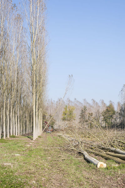 Cutting of a forest of poplars. Agriculture Cutting Board Forest Industry Lumber Nature Outdoors Paper Poplar Sky Timber Tree Wood