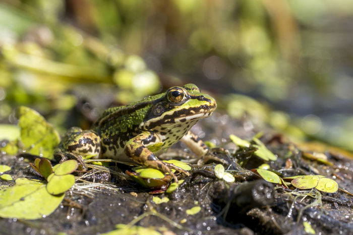 Edible frog, Common water frog, Pelophylax esculentus Frog Green Animal Common Frog, Toad, Water, Lake, Swimming, Amphibians, Plants, Evening, Macro Outdoors Summer