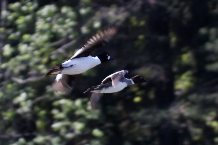 Duo in flight Birds Flight Flying Animals In The Wild Nature No People Outdoors Day Motion Wings Trees Photography Lake Magelungen Farsta Sweden Godaminnen