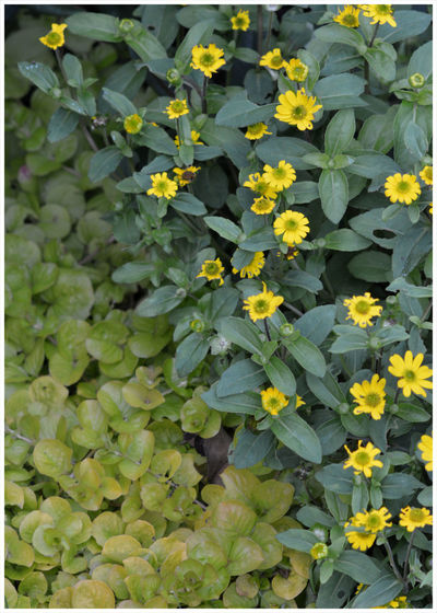 Leaves Little Yellow Flowers Grass Flower Head Close-up Light And Shade Textured  Nature Outdoors Growth Beauty In Nature Backgrounds Full Frame Leaf Fragility Plant Cottage Garden Flowers