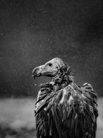 Close-up of vulture during rain