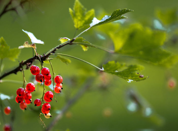 Close-Up Of Red Currants Growing On Plant