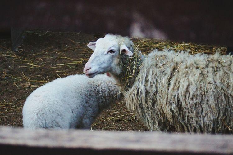Sheep on ground