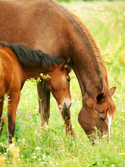 Horse grazing on field with foal