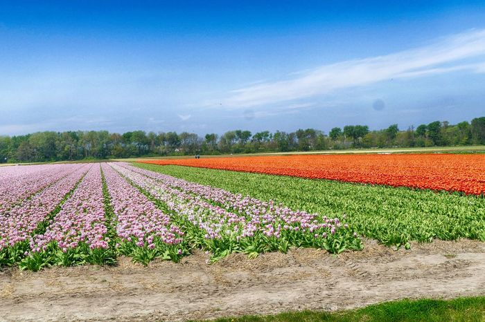 flower fields in the Netherlands Agriculture Day Field Flowers Growth Nature Outdoors The Netherlands Tulips