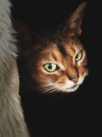 Pets One Animal Feline Indoors  Animal Themes Portrait No People Abessynian cat