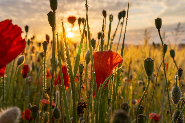 Close-up of poppies on field against sky during sunset