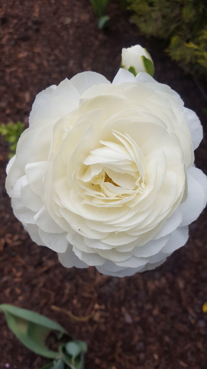 flower, petal, white color, nature, fragility, beauty in nature, rose - flower, flower head, growth, plant, freshness, no people, close-up, high angle view, blooming, outdoors, day