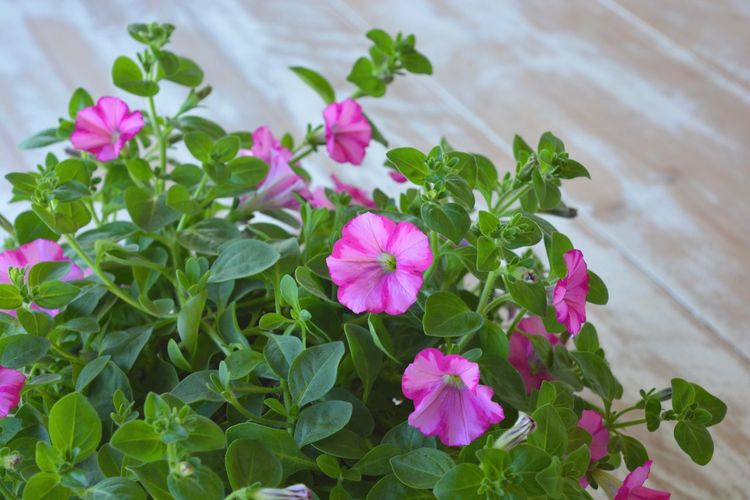 Trailing petunia on a wooden table. Flower Leaf Pink Color Growth Plant Petal Fragility No People Nature High Angle View Beauty In Nature Freshness Green Color Flower Head Blooming Day Outdoors Close-up Petunia Trailing Plant Trailing Petunia