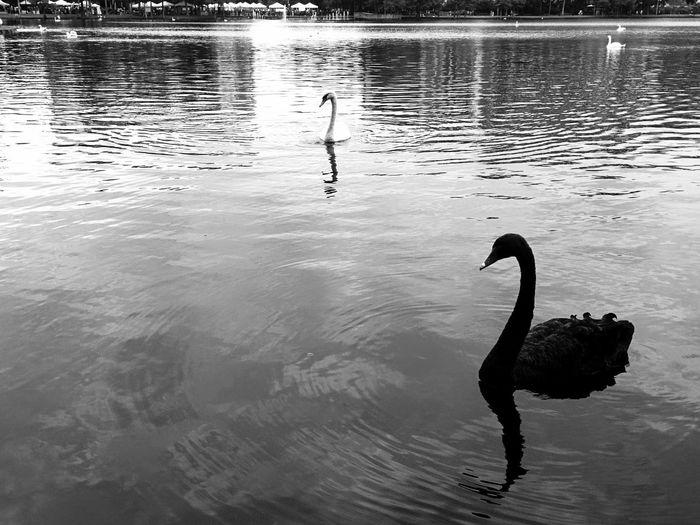 Black and White Swans Lake Eola Park Downtown Orlando Florida Nature Birds Swan Birds Water Lake Life