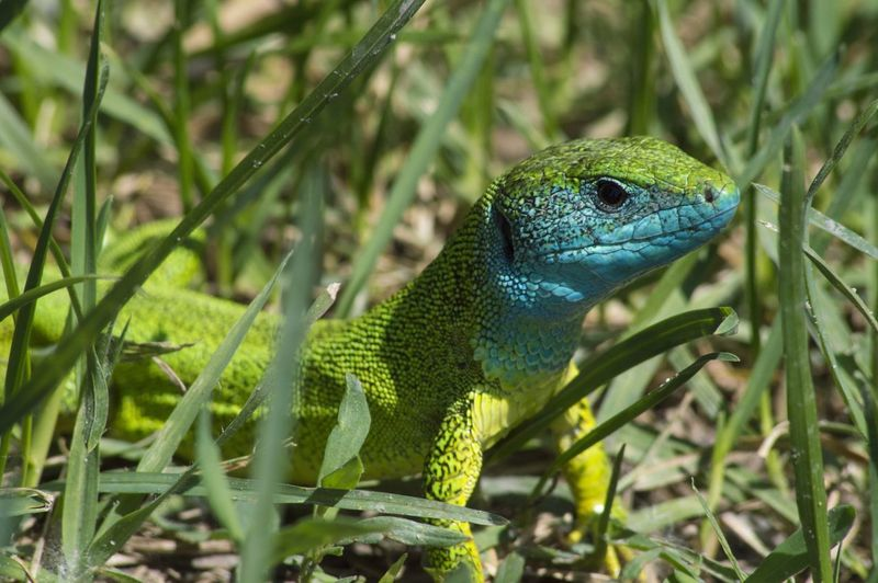 Blue Headed Lizard Green Green And Blue Green Color Lizard Nature Nature Photography Outdoors