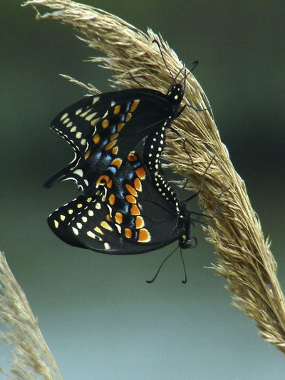 Animal Markings Butterflies Butterfly Close-up Focus On Foreground Grasses Insect Mating Natural Pattern Nature Nature Selective Focus Sky Wildlife Wildlife Photography January : Showcase Pattern Pieces