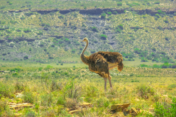 ostrich in the Karoo National Park of South Africa. South Africa Karoo Karoo National Park Great Karoo South African Safari Game Drive National Park Park Natural Beauty Nature Wildlife Animals In The Wild Dirty Road Widerness Savannah Grass Mountain Zebra Africa African Ostriches Ostrich Ostrich Farm Animal Themes Animal Animal Wildlife One Animal Vertebrate Plant Bird Environment Landscape Land Day No People Standing Walking Field Full Length