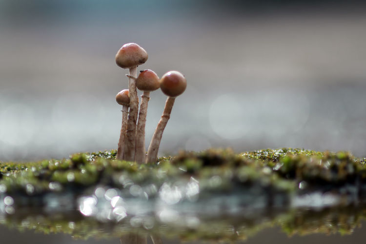 background of grass and mushrooms with bokeh Selective Focus Food Nature No People Freshness Close-up Plant Growth Beauty In Nature Food And Drink Water Vegetable Day Mushroom Fungus Outdoors Green Color Vulnerability  Tranquility Toadstool