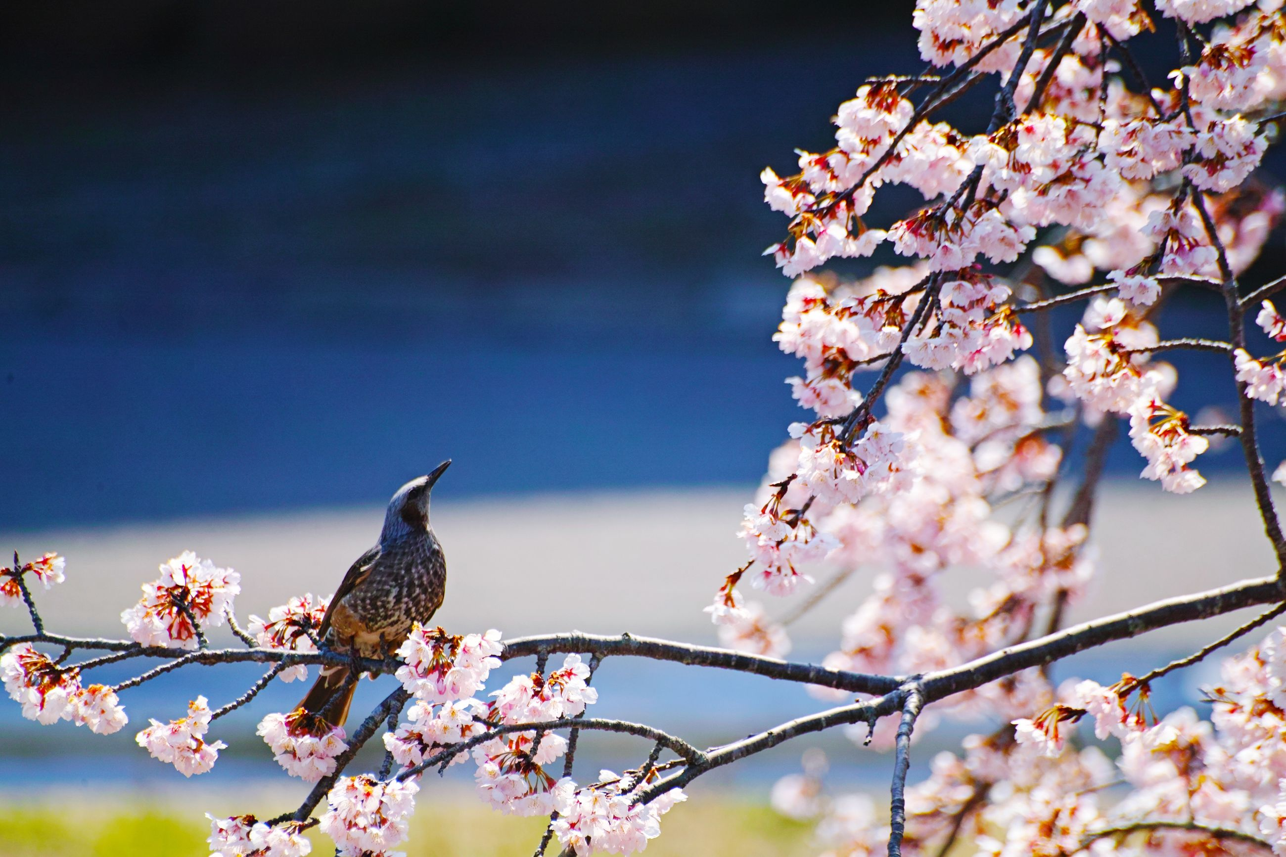 bird, animal themes, vertebrate, animal, animal wildlife, animals in the wild, flower, plant, flowering plant, fragility, one animal, perching, beauty in nature, freshness, branch, vulnerability, nature, tree, day, growth, springtime, cherry blossom, no people, pink color, outdoors, cherry tree, flower head