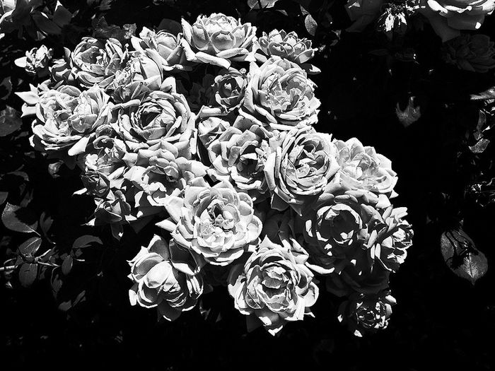Black And White Flowerporn Roses Flowers