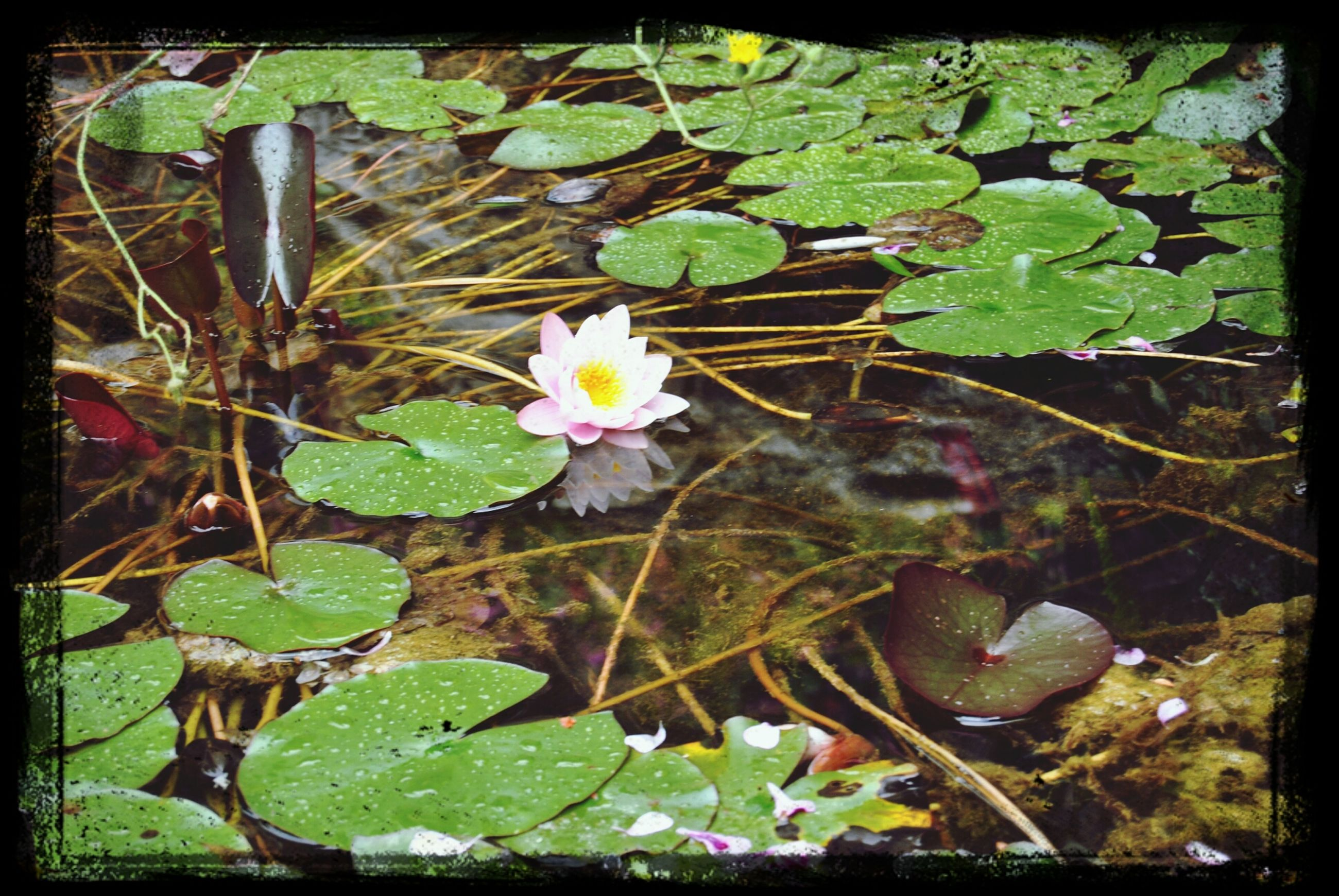 transfer print, flower, leaf, growth, auto post production filter, fragility, plant, high angle view, nature, freshness, petal, beauty in nature, green color, blooming, water lily, day, outdoors, field, no people, flower head