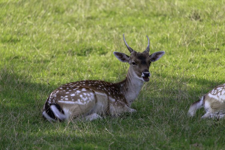 Deer Damwild Deer Animal Themes Animals In The Wild Fallow Deer Field Grass Nature No People Outdoors