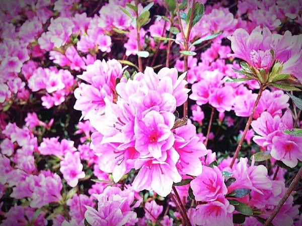 Springtime in Nana's Garden Flower Pink Color Beauty In Nature Fragility Blossom Freshness Flower Head Petal Beauty In Nature Azaleas In Bloom Close-up Springtime