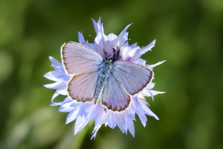 Blue*2 Centaurea Cyanus Cornflower Butterfly Lepidoptera Polyommatini Typical Blues Flowering Plant Plant Beauty In Nature Freshness Fragility Vulnerability  Insect Close-up Animal Wildlife Flower Head Nature Animal Wing