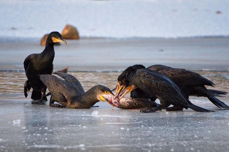 Animal Wildlife Animals In The Wild Bird Bird Of Prey Cold Temperature Cormorant  Feeding  Fish Fishing Ice Water Water Bird Wild Bird