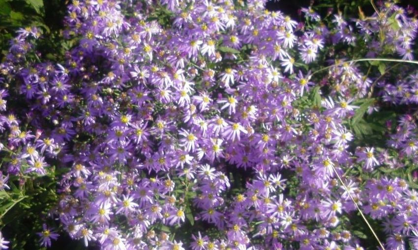 The Essence Of Summer Japanese Tatarian Aster Japanese Flower Colors Japanese Classical Literature Flower Japan Nature Natural Flower Sion Sion Flower Cion Aster Tataricus Tatarian Aster