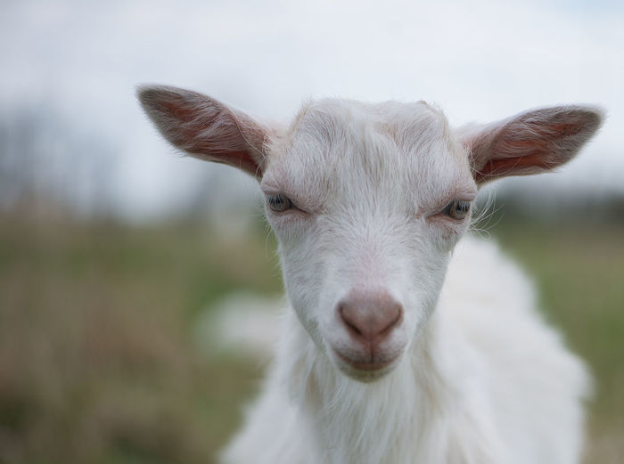 Agriculture Animal Themes Animals Portrait Cattle Breeding Close-up Countryside Day Domestic Animals Farm Focus On Foreground Goat Goats Latvia Livestock Looking At Camera Mammal Nature No People One Animal Outdoors Pasture Portrait Sky White Young Animal Pet Portraits