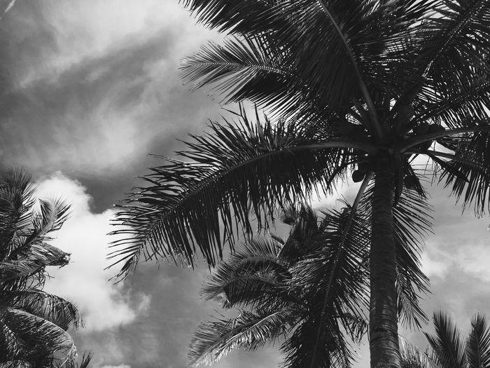Beach Palm Tree Blackandwhite