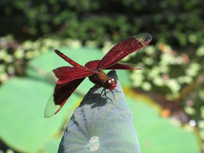 Dragonfly Insect Animal Themes One Animal Animals In The Wild Focus On Foreground Animal Wildlife Close-up Outdoors Plant Day Nature Leaf Growth No People Fragility Beauty In Nature Freshness Flower