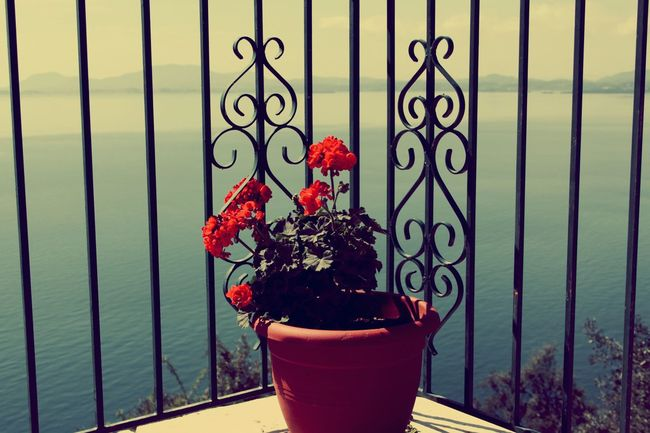 Geranium in terracotta pot with a sea and steel fence in background Brown Pot Terracotta Holidays Sunny Day Sea Steel Fence Steel Geranium Red Flower Plant Potted Plant Flowering Plant Nature Day No People Decoration Creativity Beauty In Nature Fence Growth Close-up Outdoors