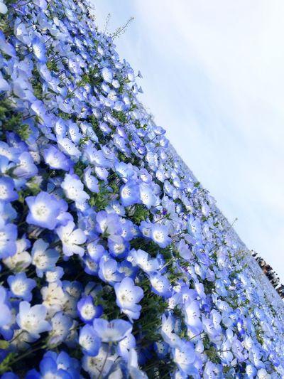 Flower Beauty In Nature Nature Japan Japan Photography Nemofira Ibaraki