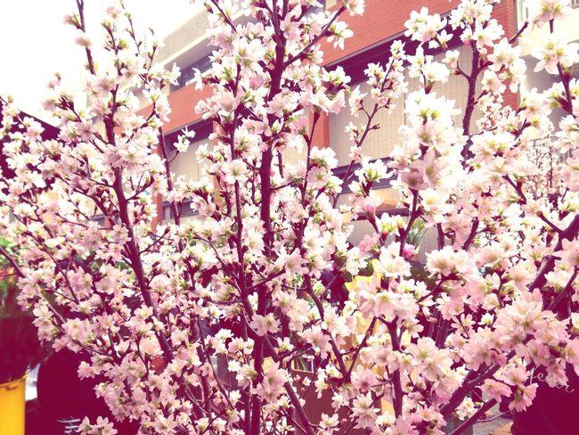 HongKong Flowers Sakura